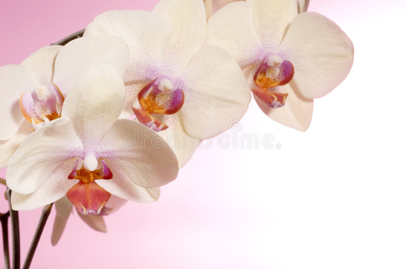 Beautiful orchid. Holiday greeting card with beautiful fresh orchid royalty free stock photos