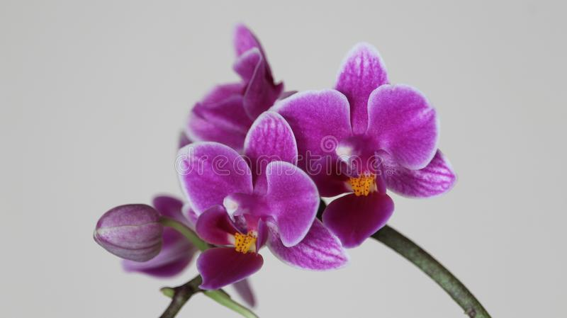Beautiful orchid abode of intense color and a lot of beauty royalty free stock images