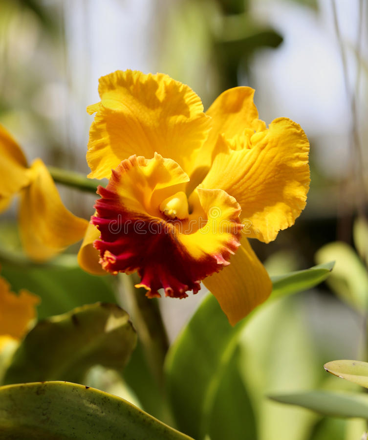 Beautiful orchid. Beautiful blooming yellow orchid in the garden royalty free stock photo
