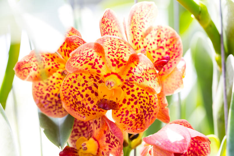 Beautiful orchid flower. Close up beautiful orchid flower stock photo