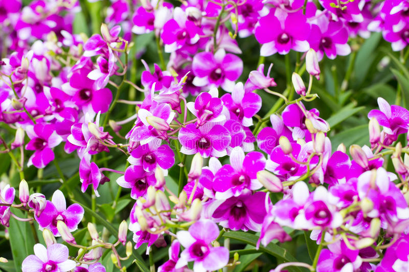 Beautiful orchid flower. Close up beautiful orchid flower royalty free stock image