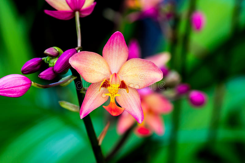 Beautiful orchid flower. Close up beautiful orchid flower royalty free stock photo