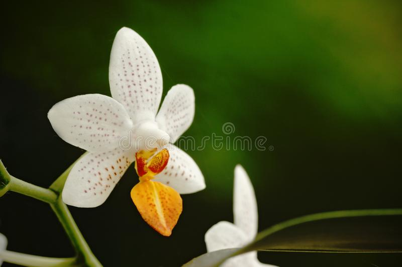 Beautiful orchid flower grow in tropical garden with natural background, wallpaper natural closeup macro, postcard beauty and. Agriculture idea concept floral stock photography