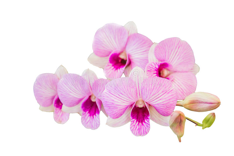 Beautiful orchid flower on white background royalty free stock photos