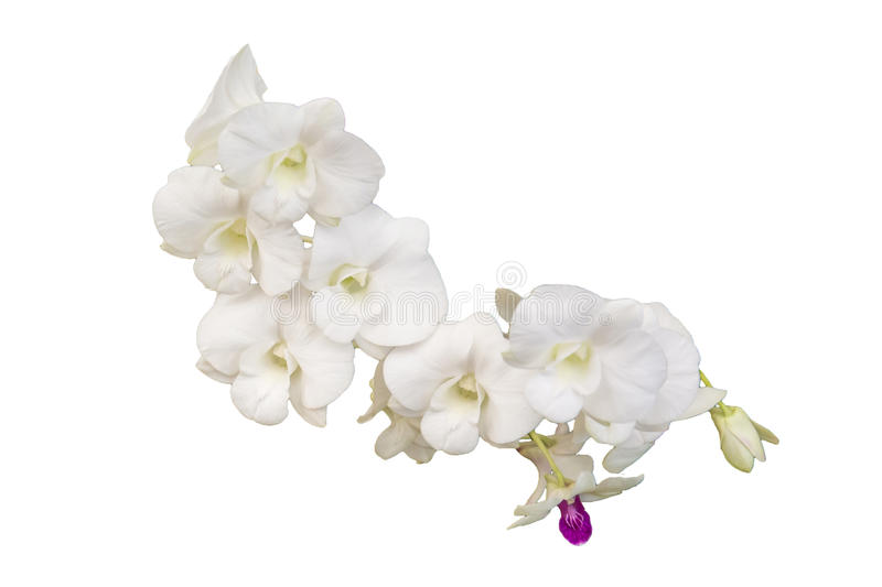 Beautiful orchid flower on white background royalty free stock images