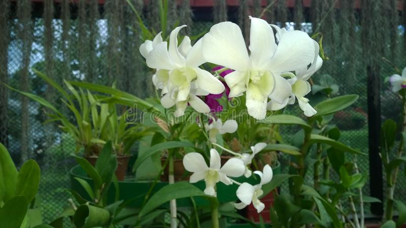 Beautiful orchid flowers sri lanka 01 royalty free stock photos