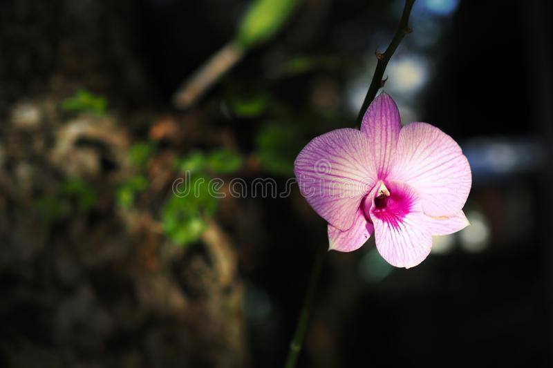 Beautiful Orchid in the garden royalty free stock photos