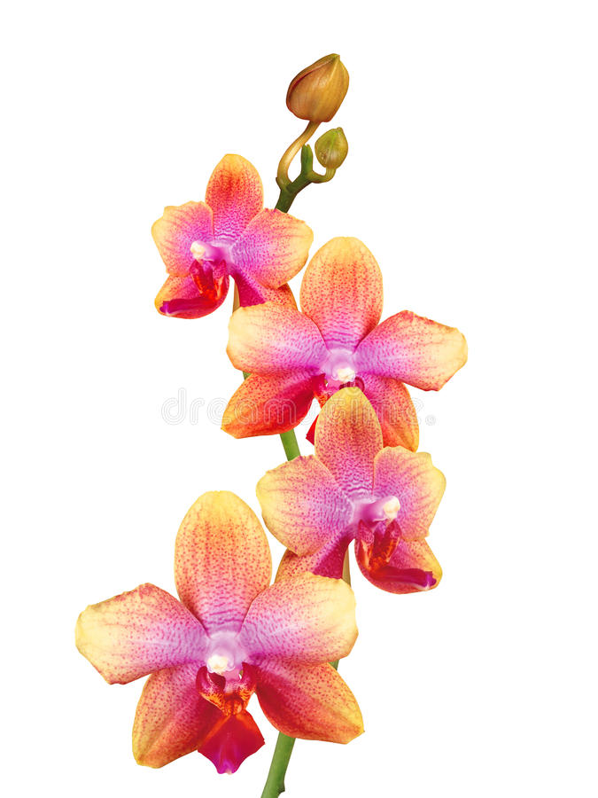 Beautiful Orchid Isolated On White Stock Photography