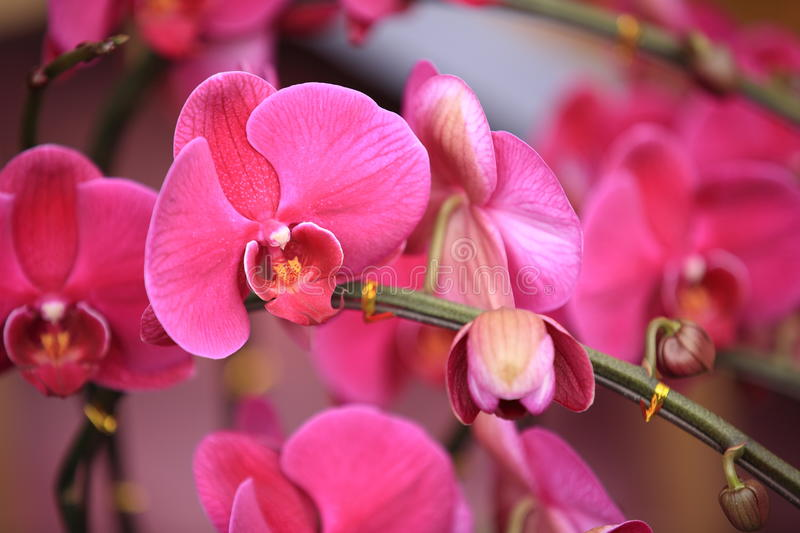 Beautiful orchid - phalaenopsis royalty free stock images