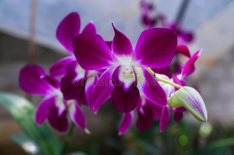 Beautiful Orchid, srilankan Orchid Farm royalty free stock images