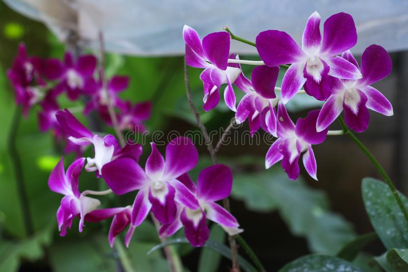 Beautiful Orchid, srilankan Orchid Farm stock images