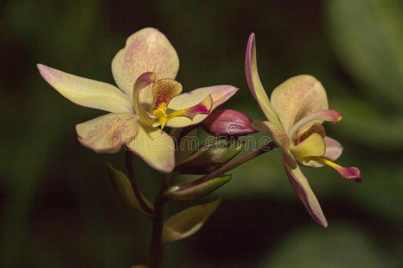 Beautiful Orchid, srilankan Orchid Farm royalty free stock photos