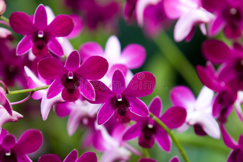 Download Beautiful Orchids stock image. Image of green, peep, orchids - 8552837