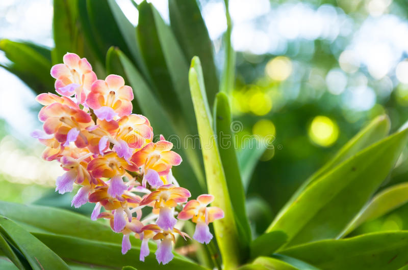 Beautiful orchids are blooming in tropical garden. Beautiful orchids are blooming in the tropical garden stock photography