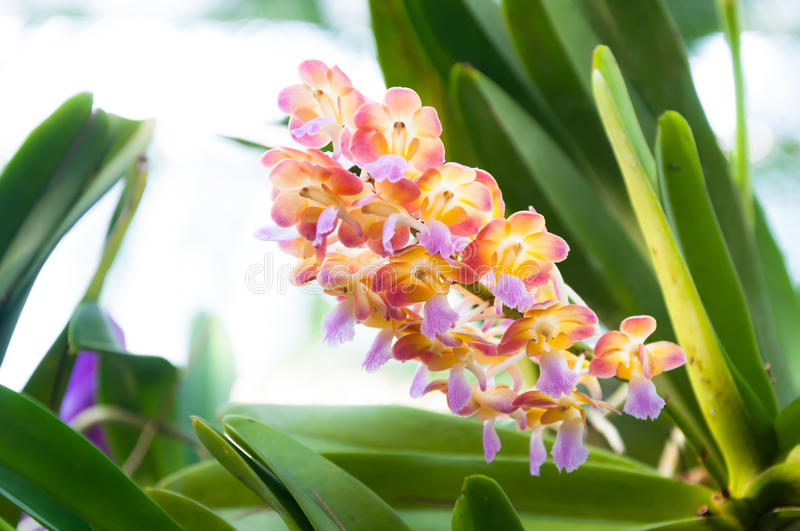 Beautiful orchids are blooming in tropical garden. Beautiful orchids are blooming in the tropical garden stock images