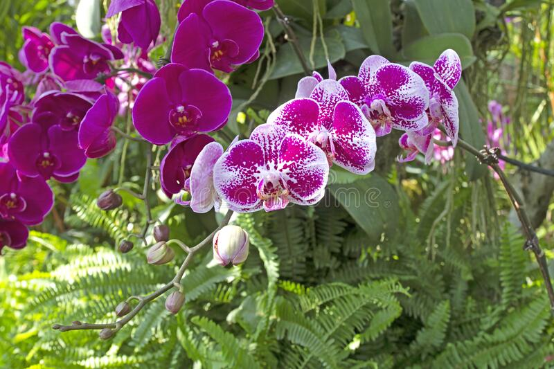 Beautiful orchids in the garden.  royalty free stock photo
