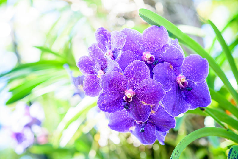 Beautiful Orchids. Beautiful purple Orchids in garden stock photos