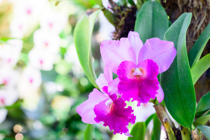 Beautiful Orchids. Beautiful purple Orchids on the tree in the garden royalty free stock photography