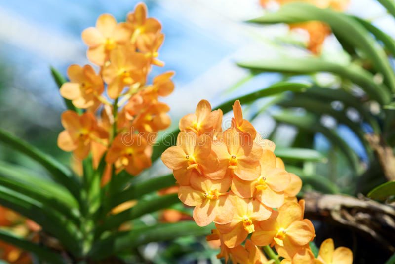 Beautiful Orchids. Scenic orchids from National Orchid Garden, Chiangmai, Thailand stock images
