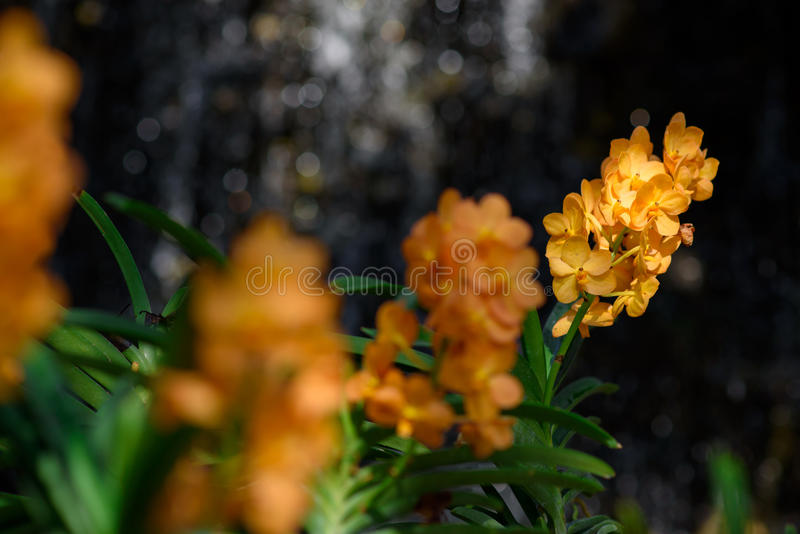 Beautiful Orchids. Scenic orchids from National Orchid Garden, Chiangmai, Thailand royalty free stock image