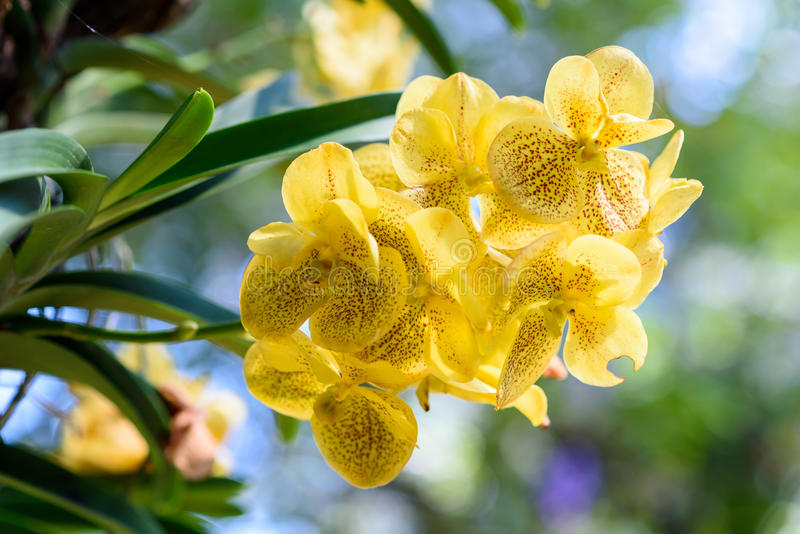 Beautiful Orchids. Scenic orchids from National Orchid Garden, Chiangmai, Thailand stock photo