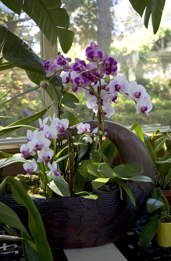 Beautiful Orchids on the window of green house stock images