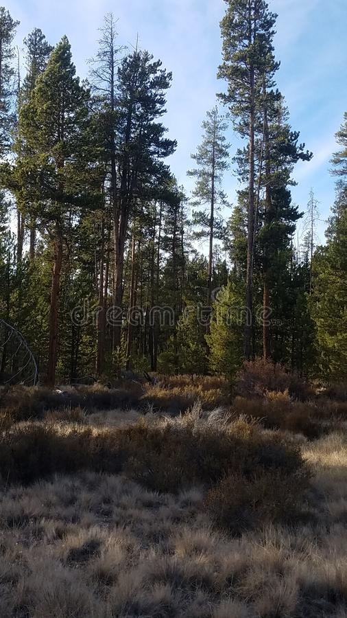 Beautiful oregon pine forest in the high desert stock image