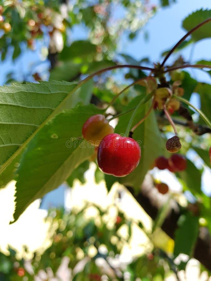 Beautiful organic cherry stock image