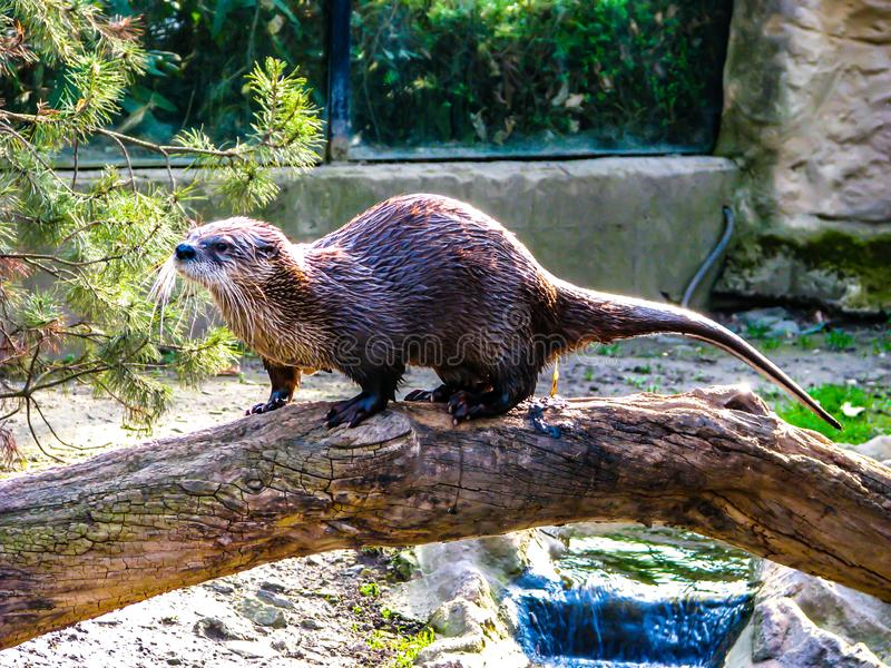 Beautiful otter on a log in sunny day - whole body.  royalty free stock photos