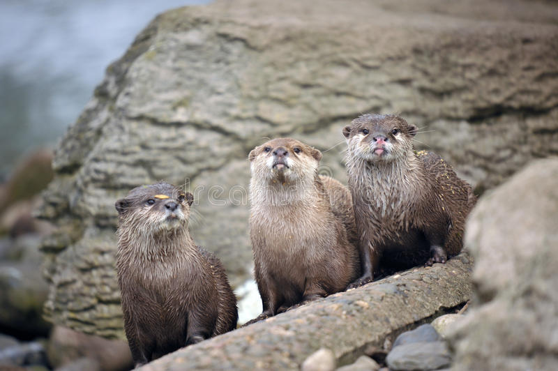 Download Beautiful Otters stock photo. Image of river, isolated - 19682970