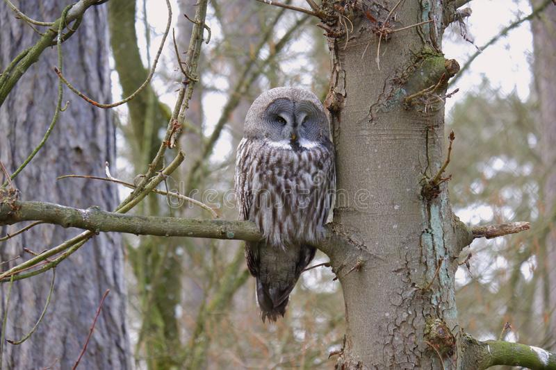 Beautiful owl sitting on branch in forest. European trees wildlife natural stock photography