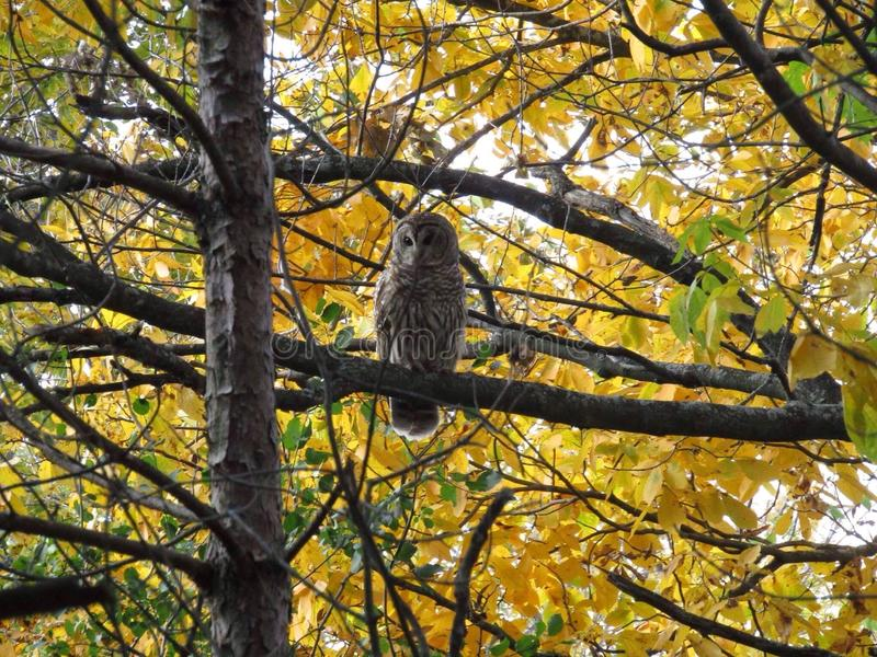 Beautiful owl royalty free stock image