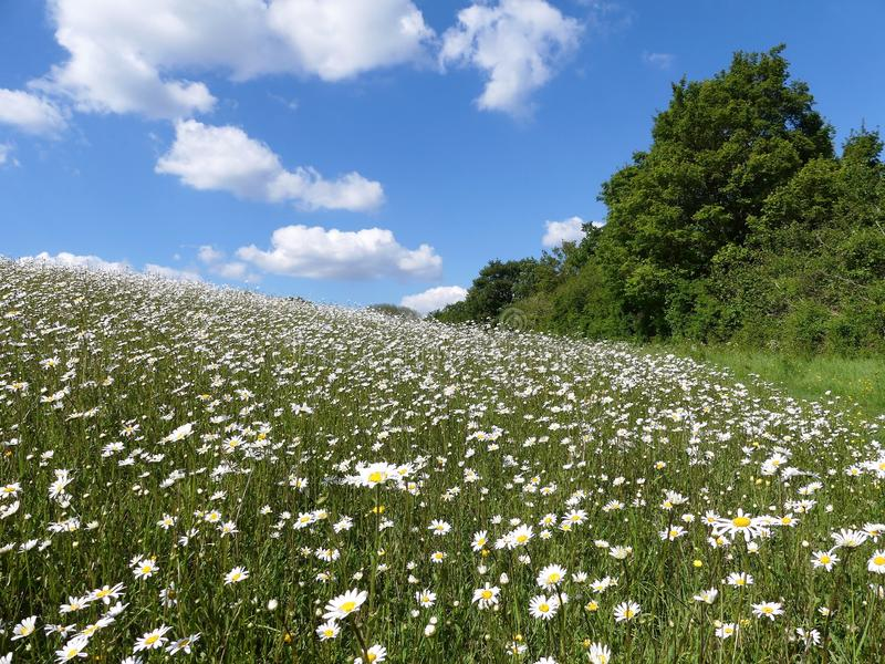 Beautiful Ox-eye daisies in meadow in the Chiltern Hills stock image