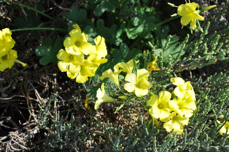 The beautiful Oxalis pes-caprae flower in garden.  royalty free stock photos