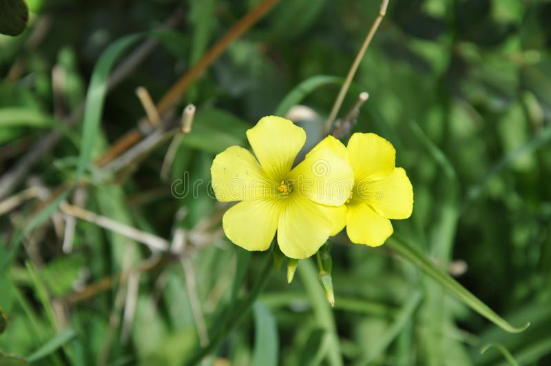 The beautiful Oxalis pes-caprae flower in garden.  royalty free stock photography