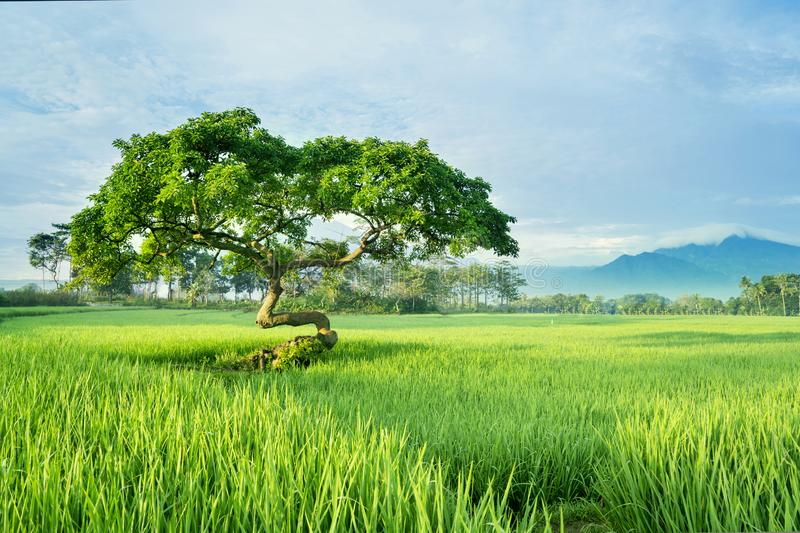 Beautiful paddy field with big tree stock photos
