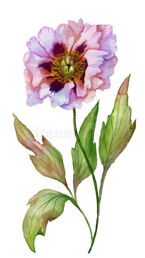 Beautiful Paeonia suffruticosa Chinese peony flower on a stem with green leaves. Pink and purple flower isolated. vector illustration