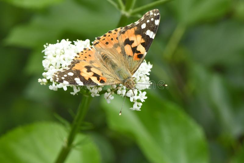 Beautiful painted lady royalty free stock photography