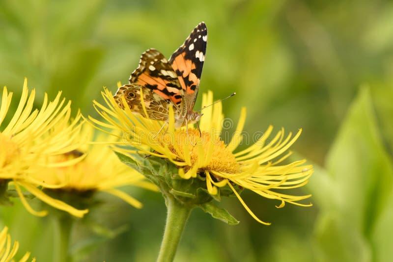 Beautiful painted lady Vanessa cardui pollinating at bright elecampane flowers stock photos