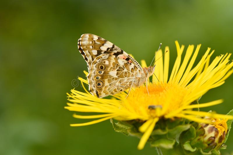 Beautiful painted lady Vanessa cardui pollinating at bright elecampane flowers stock photo