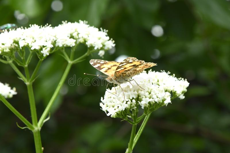 Beautiful painted lady royalty free stock images