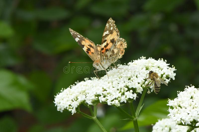 Beautiful painted lady stock images