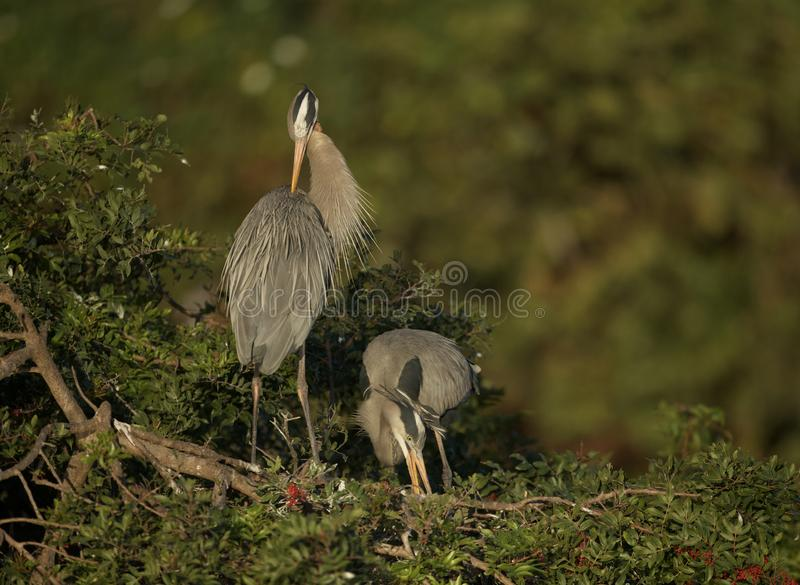 Great Blue Herons at Venice Rookery royalty free stock images