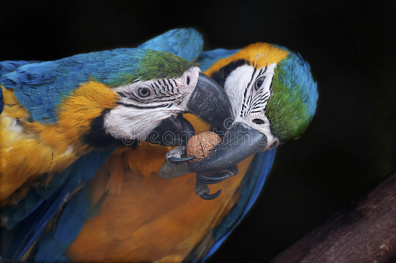 Beautiful pair of Blue and yellow Macaw, India stock image