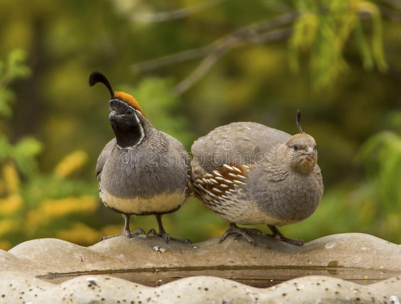 Pair of Gambel`s Quail. A beautiful pair of Gambel`s Quail perch on the side of a birdbath, enjoying a drink together royalty free stock image