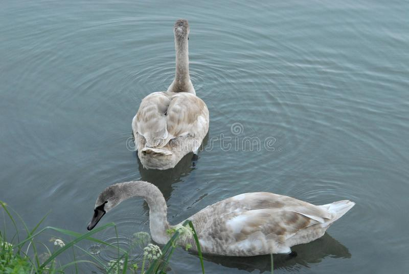 Beautiful pair of geese swimming in the river Brenta near Mira in the province of Venice in the Veneto (Italy). Photo made a beautiful pair of geese, feathers stock photos