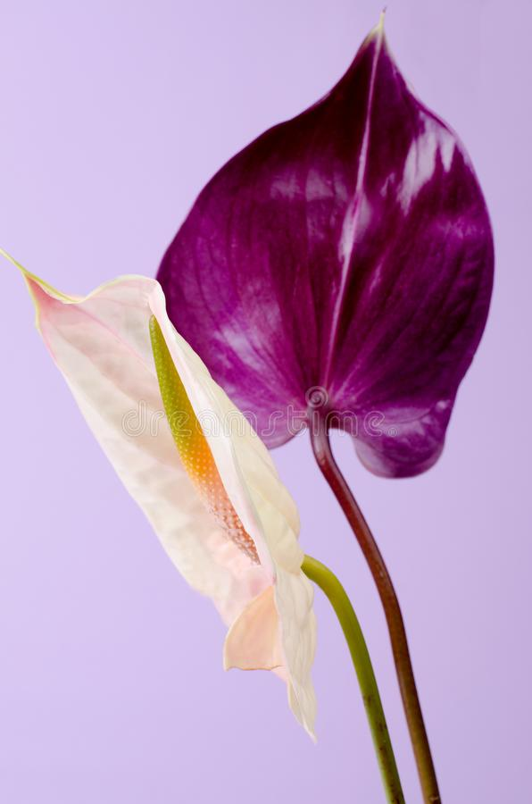 Beautiful pair of purple and pink Anthurium flowers. Minimalistic background. stock photos