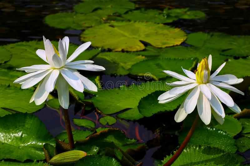 Beautiful pair of white hairy water lilies nymphaea pubescens. Pair of nymphaea pubescens or white hairy water lilies in a tropical pond royalty free stock images