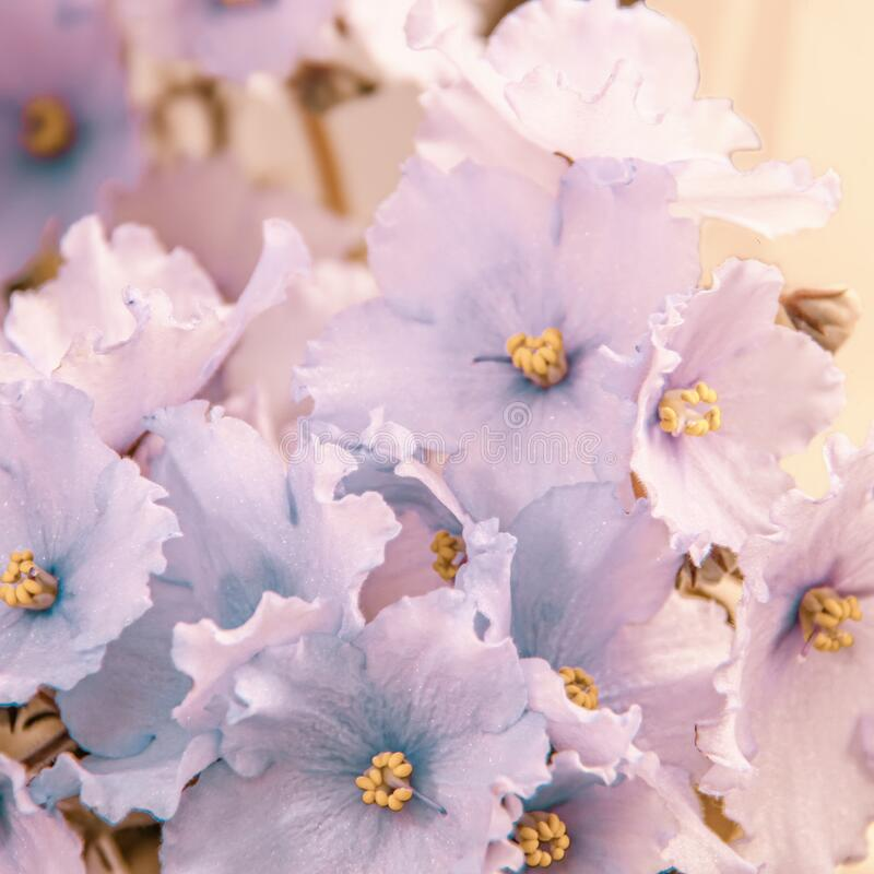 Beautiful pale blue flowers of African violet or Saintpaulia close-up stock photos