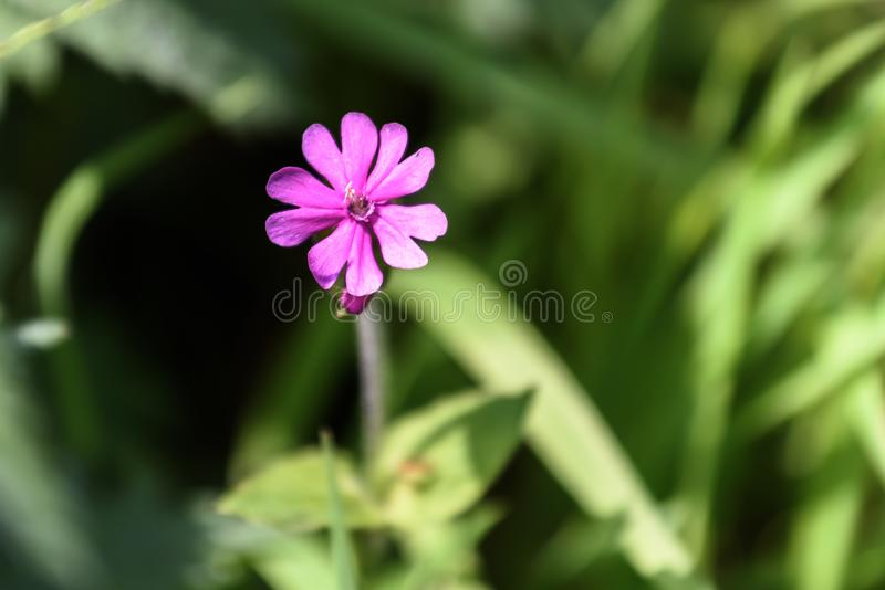 Beautiful pale purple flower. Isolated stock photo